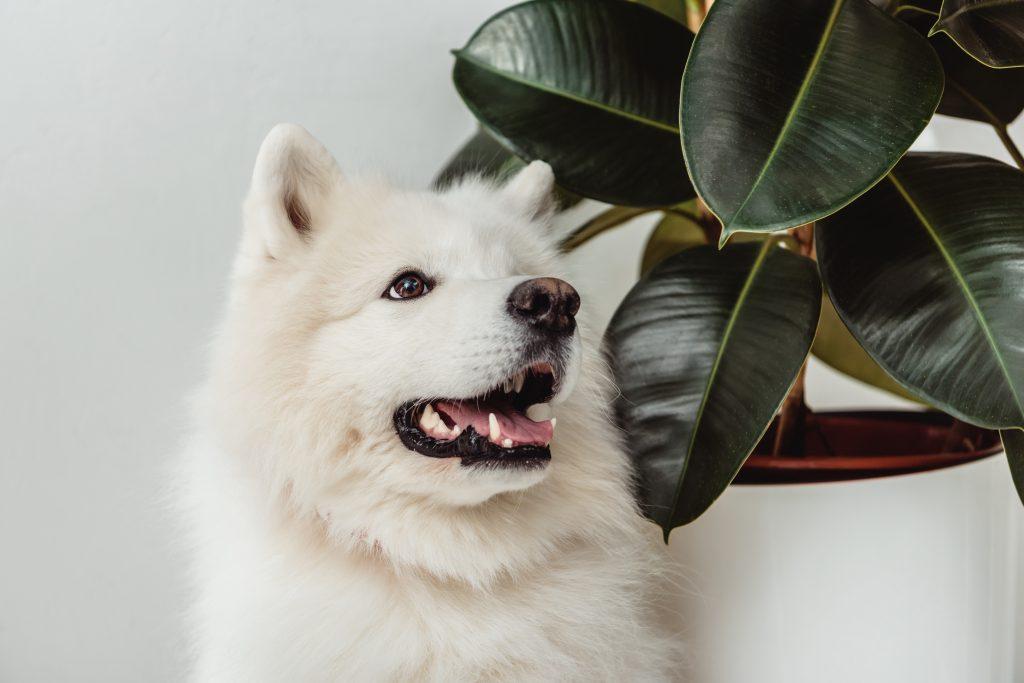 pies biały